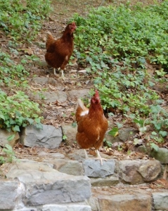 local poultry