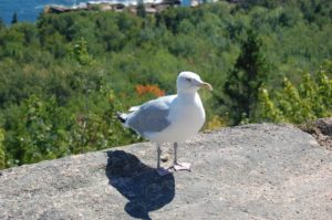 acadia-lunch-visitor